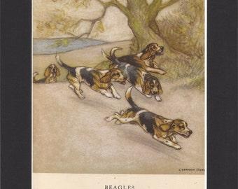 Beagles Vintage Dog Print George Vernon Stokes 1947 Bookplate Drawing Mounted with Black Mat Beagles Print Hunting Beagle Dog Art
