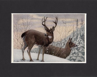 Black Tailed Deer Print 1916 by Louis Agassiz Fuertes Vintage Mounted Bookplate Picture with Mat Mule Deer Hunting Print