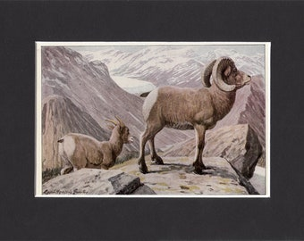 Rocky Mountain Sheep 1916 Small Print by Louis Agassiz Fuertes Vintage Picture with Matt Bighorn Sheep Print