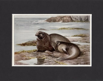 Northern Elephant Seal Print 1916 by Louis Agassiz Fuertes Vintage Bookplate Picture with Mat Sea-elephant Elephant Seal Picture