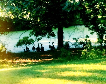 Afternoon Geese