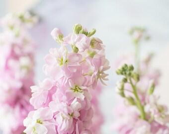 Flower Print - Pink Stocks Fine Art Photograph