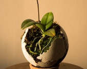 Concrete Sphere Orchid planter with Moss and Lava rock - 6 inch