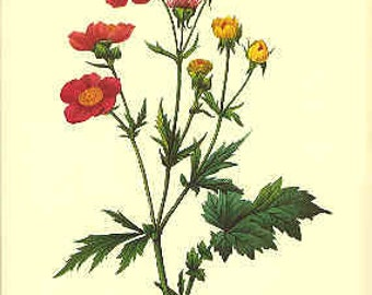 Redoute Botanical Print -  Geum Rose - 10