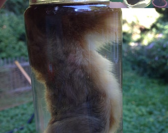 Lucky Rabbit's Foot in a Jar - Preserved Wet Specimen Taxidermy