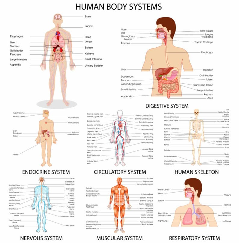 Human Body Systems Printhuman Body Systems Posterbody Etsy