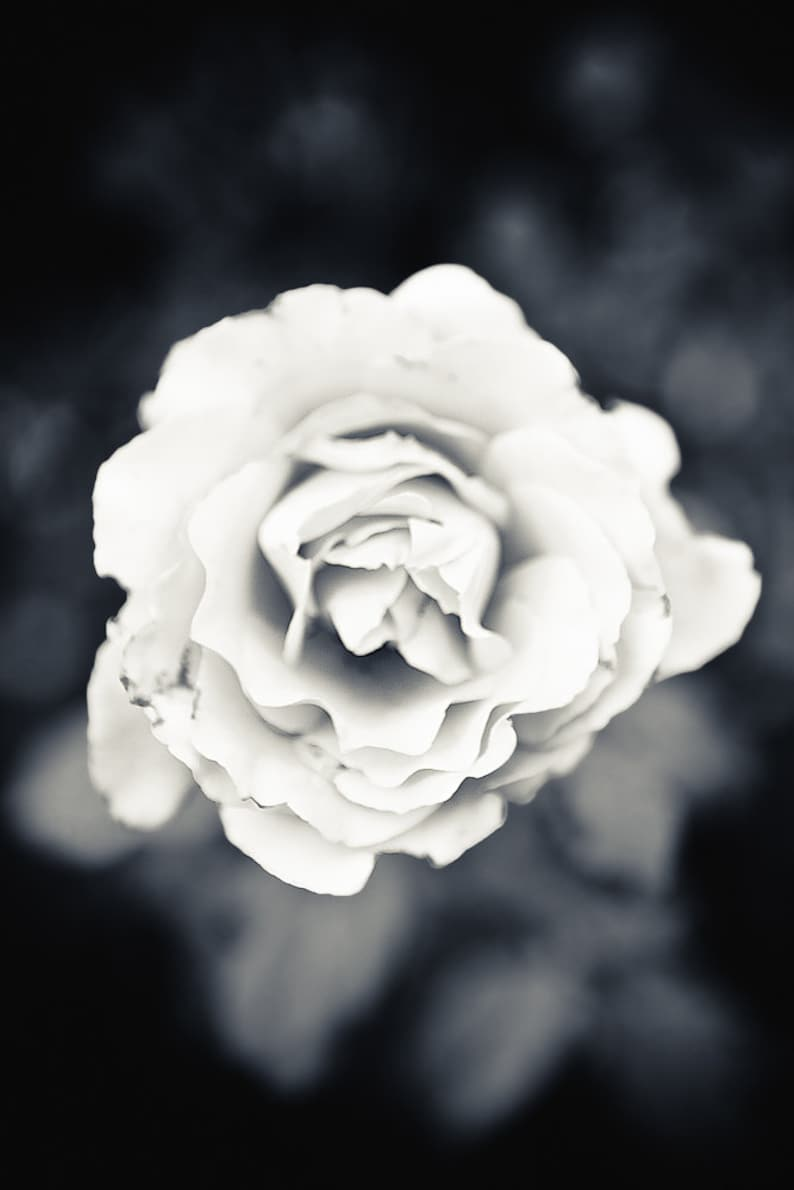 Bucks County Rose Black and White  Photography   8x12 image 0