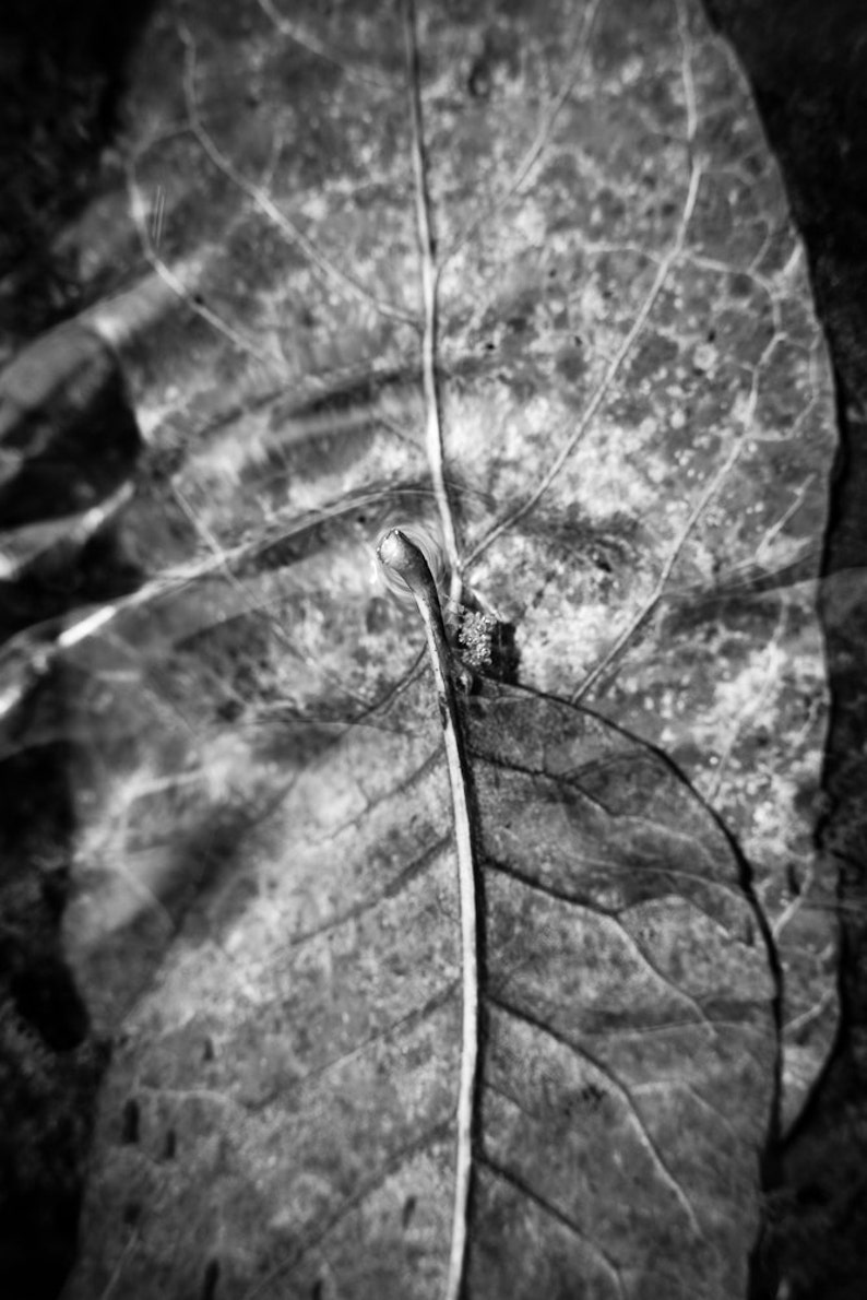 Underwater Autumn Twin Leaves Fall Black and White  image 0
