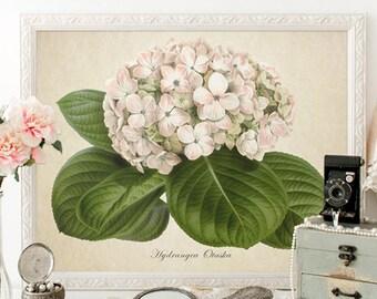 Botanical Print, White Hydrangea Botanical Print, Flower Print, Home Decor, Antique Hydrangea Print Reproduction, Vintage Reproduction FL082