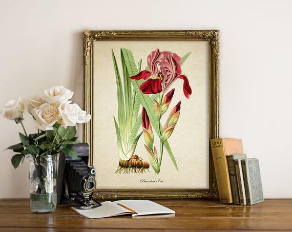 Botanical Print Bearded Iris Print Home Decor Red Iris
