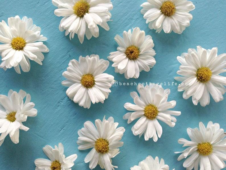 Spring Summer White Yellow Daisy Daisies Turquoise garden image 0