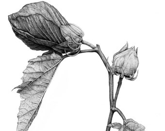 Hibiscus Botanical Illustration. Archival print from original graphite drawing. 8.5 x 11
