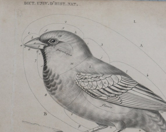 Dictionnaire Universel d'Histoire Naturelle by Charles D'Orbigny Original Bird Engraving
