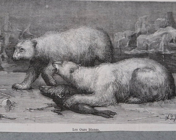 Antique French Engraving of White Bears