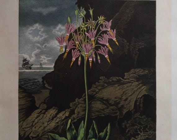 """House & Garden's 1937 Print """"American Cowslip"""" by P. Henderson and Warner"""