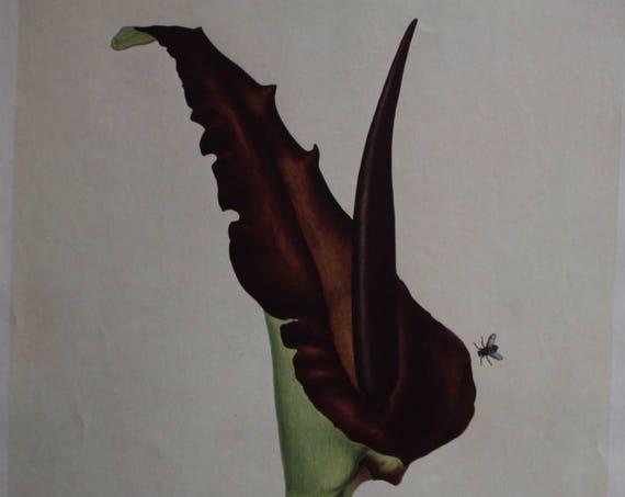 "House & Garden's 1937 Print ""Dragon Flower"" by the Misses Fellowes"