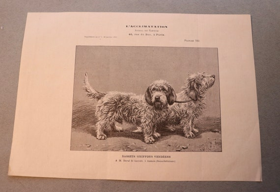Antique French Engraving of Basset Griffons Vendéen from the January 1903 Breeders' Journal