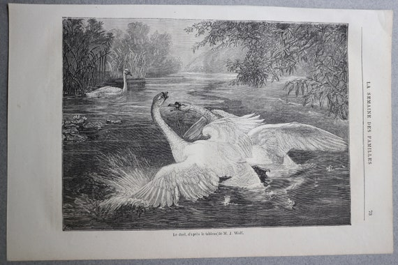 Antique, French Engraving of Swans from 1884 Journal