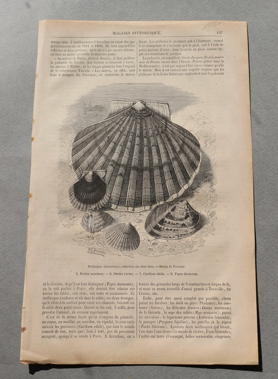 Antique, French Engraving of Seashells from Magasin Pittoresque