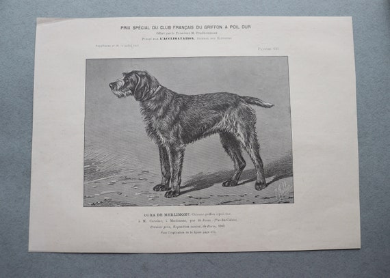 Antique, French Engraving of Cora de Merlimont, Wirehaired Griffon, from the July 1902 Breeders' Journal