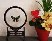 Vitrine suspension papillon Ripheus Madagascar