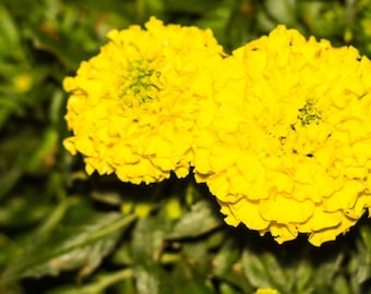 African Marigold Seeds, Yellow flower Seeds, Kids garden, Marigolds, Garden gifts, Sunflowers, Heirloom seeds, Organic seeds