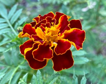 Orange Maroon Marigold Seeds, Marigolds, Garden gifts, Flower seeds, Heirloom seeds, Organic seeds