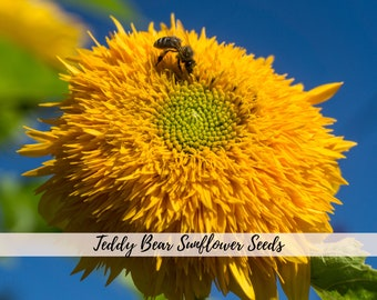 Heirloom Teddy Bear Sunflower Seeds, Sunflower Seeds, Kids garden, Flower seeds, Garden gifts, Sunflowers, Heirloom seeds, Organic seeds