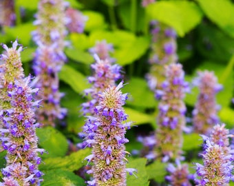 Hyssop Seeds 25+, Hyssop Tea for cough colds, Pollinator garden, Garden Gifts, Hyssop seeds, Gift for her, Medicinal Herbs, Licorice seeds
