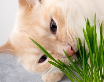 Cat Grass seeds 10+, Cat mom, Grow your own Cat Grass plants from seed, Garden Lover Gifts, Cat gifts, Gifts for Cats, Gardening Gifts