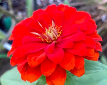 Scarlet Red Zinnia Flower Seeds, Red Zinnias, Garden gifts, Red Flower seeds, Organic seeds, Gifts for Gardeners, Easy flowers to grow