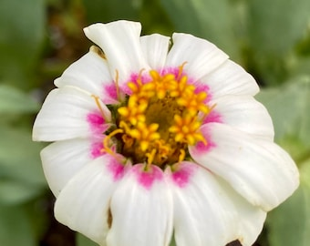 Zinnia Flower Seeds White with Pink, White Pink Flowers, Gardening gifts, Pink flower seeds, Organic seeds, Easy flowers