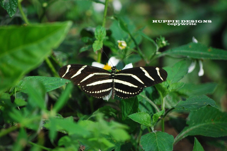 Longwing Butterfly 8 x 10 Matted and signed image 0