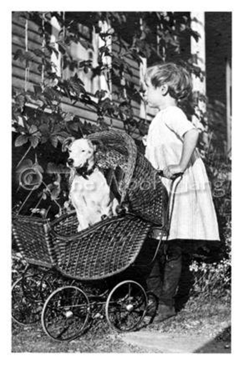 Pit Bull Pup in Baby Carriage U.S.A. c. 1910 Vintage Photo  image 0