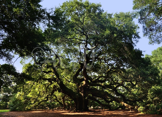 Angel Oak on Johns Island, South Carolina (canvas)