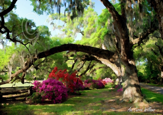 Azaleas under the Oak Trees at Magnolia Gardens in South Carolina