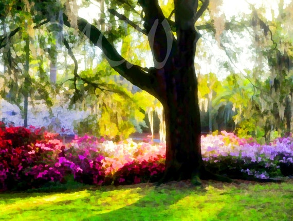 Azaleas in bloom in the morning glow in Edisto Memorial Gardens (canvas)