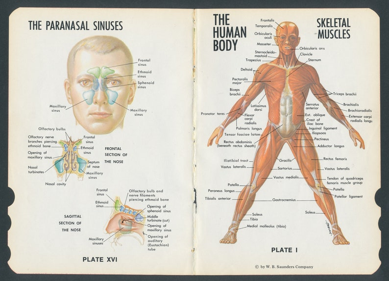 Vintage Anatomy Diagrams / Old Medical Dictionary Pages / image 0