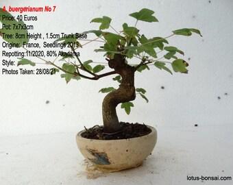 Pre-Bonsai Acer  buergerianum  No 7