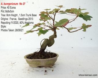Pre-Bonsai Acer  buergerianum  No 27
