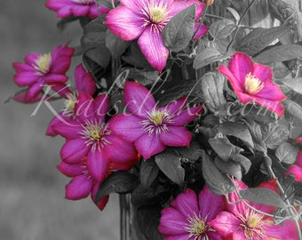 Pink Clematis Photograph Pink Flowers Fine Digital Art Photography Black White Gray Background Home Office Wall Decor Yellow Gift Idea