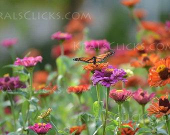 Monarch Photograph Butterfly zinnea flowers orange purple green butterflies monarchs Home Office Wall Decor Fine Art Photograph wings flower