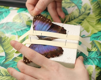 DIY Entomology Kit - Butterfly & Moth Spreading and Pinning Set (Specimen + Tools Included)