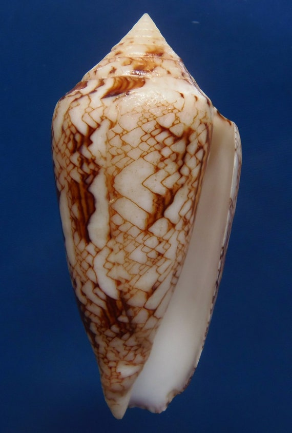 Gems Under the Sea  Seashell Brown-spotted Cowry Ransoniella punctata