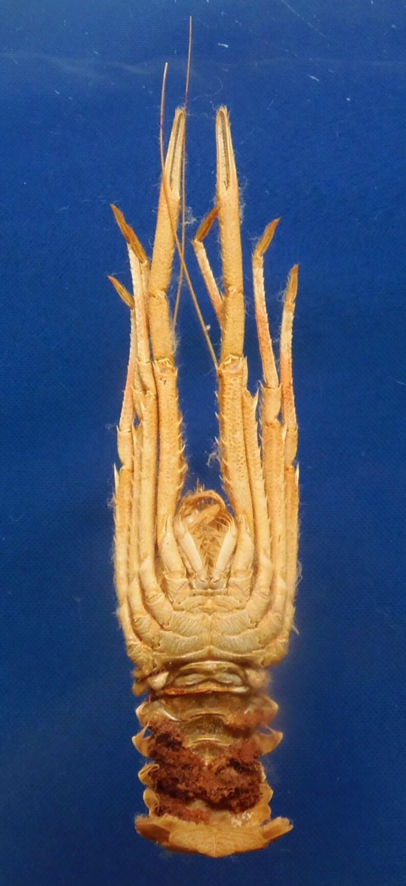 Gems Under the Sea 87523 Agononida pilosimanus 145 mm Curios Oddities Crab Taxidermy