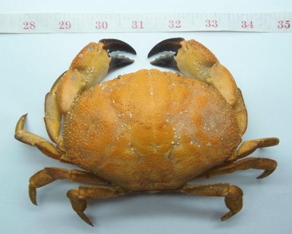Crustaceans Xanthid crab Atergatis reticulatus Taxidermy Oddities
