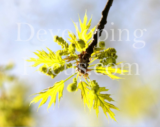 Spring Leaves Photo Art, Maple Leaf Photography, God Makes All Things New, Nature Photography Card or Print, Instant Download Postcard