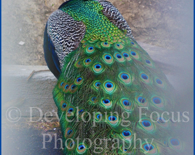 Peacock Exotic Bird Photography Art Print Download, Peacock Photography Art Download, Beautiful Peacock Download Photography Card or Print