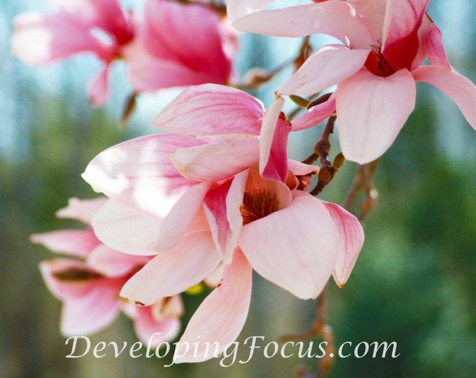 Pink Magnolia Tree Blossom Photo Art Print, Magnolia Flower Photograhy, Magnolia Spring Bloom Art Print, Pink Magnolia Art Decor