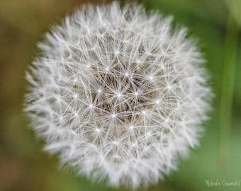 Flower Photography, Dandelion, Dandelion Fluff, Nature Photography, Flower Photo Print